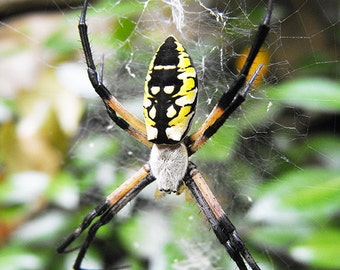Beautiful Large Yellow and Black Writing Spider - Photo of an Argiope Garden Spider in her Web