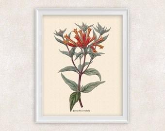 Botanical Print  - 8x10 PRINT - Firecracker Bush - Hummingbird Flower - Red Flowers - Flower Wall Art - Item #108