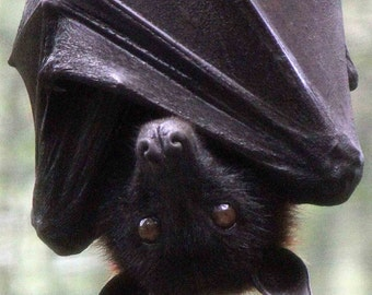 Hanging Out-metallic-flying fox bat hanging upside down & wrapped in his wings-8x10 photograph
