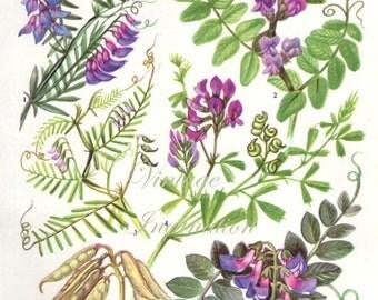 HERBS BUSH VETCH herbs Vintage Botanical Print Antique, plant print 135 botanical print, bookplate art print, herb plants plant wall print