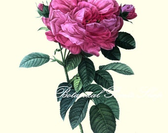 "Roses Pictures. Rose Print No.15. Flower Pictures. Floral Art. 5x7"", 8x10"" 11x14"""