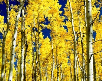 Aspen trees fall photo, Colorado aspen wall art, fall trees photo, log cabin decor, fine art photography, rustic wall art, home wall decor