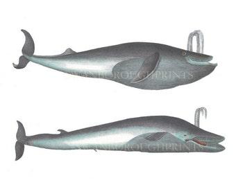 Coastal Sealife Print of Whales. Blue Whales Wall Art Print. Nautical Home Whale Bathroom Decor. Ocean Life Beach House Print