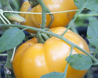 75+ Yellow Brandywine Tomato Seeds for 2016- Heirloom Variety