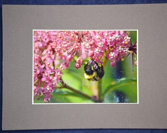 4 X 5 Gloss Photo Card of Bumblebee on Pink Milkweed Blooms on Gray or Olive Green Acid Free card-stock, White Envelope