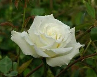 White Climbing Rose Seeds, Heirloom Plant, Perennial Flower