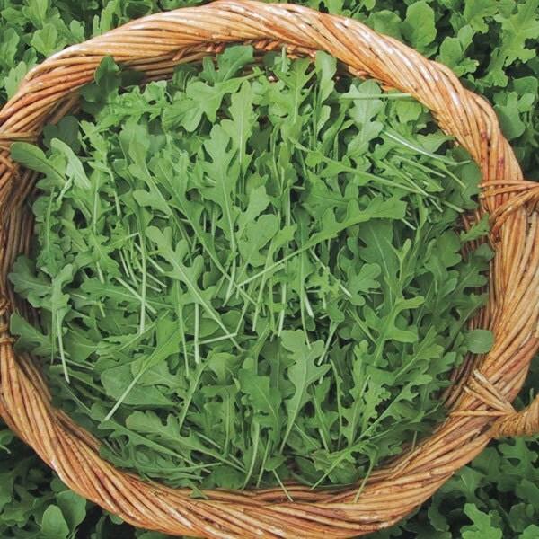 Roquette Arugula 150 Seeds Organic Non Gmo From