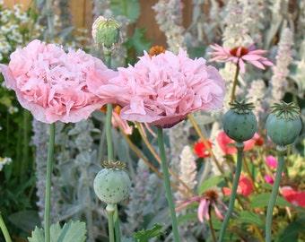 Pink Peony Poppy Seeds