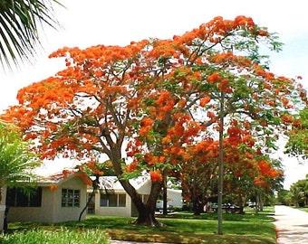 Delonix Regia 10 Seeds - Fantastic Madagascar Royal Flame Tree