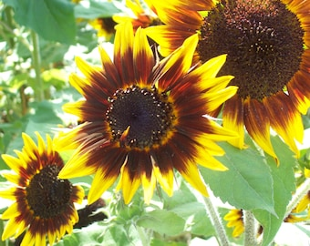Sunflowers Note Cards