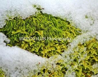 Snow Moss