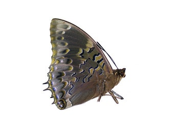 Western Blue Charaxes (Charaxes smaragdalis) Butterfly Specimen