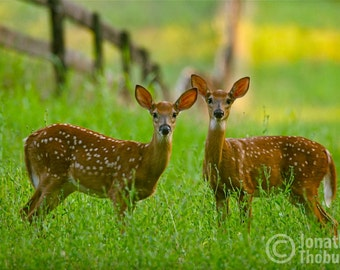 Twin Fawns in the Meadow, Deer Photography, Whitetail Deer, Wildlife Art, Spring Meadow, Nursery Decor, Animal Print, Nature Photo, Hunting