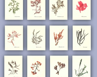 Seaweed art, Pressed seaweed, 12 natural seaweed pressings, botanicals, seaweed herbarium, beach cottage, nautical decor, MADE TO ORDER 5X7