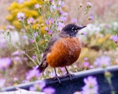 Orange Bird Art Robin Red Breast New Mexico Purple wildflowers Autumn lavender asters Fall yellow 8x10 Photo Giclee Print country