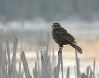 Bird in Marsh Fine Art Photo Print, Female Red Winged Black Bird, Soft Evening Light, Neutral Colored Wall Art