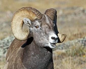 Bighorn Sheep Notecard - Choose your photo