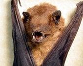 Valentine's Day Gift For Dad Real Framed Taxidermy Bat-Scotophilus Kuhlii Resting Vampire Bat  B1318