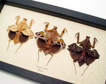 Real Framed Amazing Preying Mantis Leaf Mimic Deroplatys Lobata Set of 3 8261