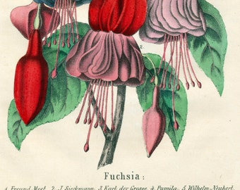 1863 Rare Vintage Antique Botanical Print of Fuchsia - German - Handcolored