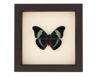 Mounted Butterfly Shadowbox Red Flasher Display