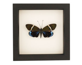 Framed Moth Shadowbox Taxidermy Display Eterusia repleta