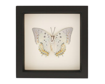 Framed White Butterfly Jeweled Nawab Insect Taxidermy Display