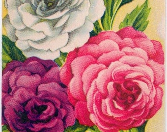 BALSAM! (Camellia Mixed) Vintage Flower Seed Packet Tuckers Seed House Lithograph (Carthage, Missouri)