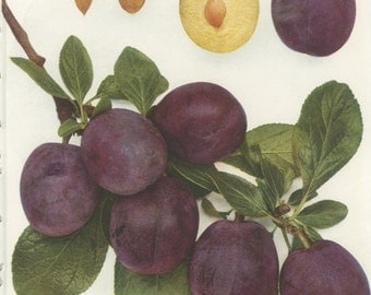 Vintage Plum Print, Utility, Botanical 8 x 10 Photo Book Plate 29, 1949, Heritage Fruit, Purple, English Plums, Frameable Art