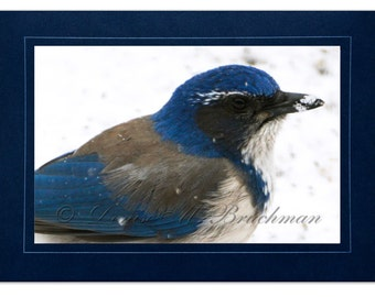 Bird Photography - Scrub Jay in the Snow Photogreeting Card - Blank Inside - Snow Photography - Gifts for Bird Lovers - Bird Art