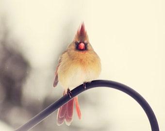 Cardinal photo, Bird photography, Female Cardinal #1, winter cardinal, nature photography, new england, red, tan, black, home decor