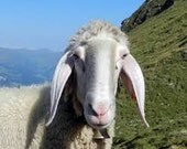 Tyrolean Bergschaf - Rare Breed Fibers Organic Wool Batt
