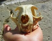 Cruelty Free No. 106 Bobcat Skull