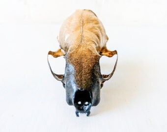 24K Gold Ombre Mink Skull - Black Gradient - One of a Kind Science Specimen - Real Taxidermy Collectibles - Genuine Skulls Curiosity