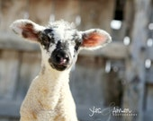 brave one - fine baby lamb photography - farm fresh cards