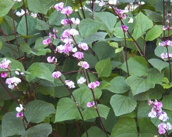 hyacinth bean vine seeds purple friendship vine