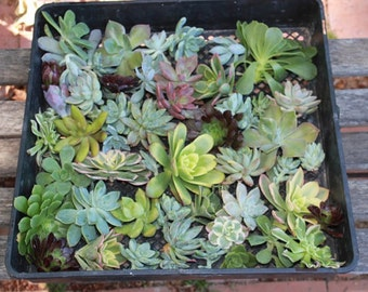 """50 (1-3""""inch) Gorgeous ROSETTE Succulent CUTTINGS (8 Varieties) wall gardens wedding gift FAVORS Succulents"""