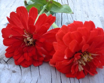 SALE Red Giant Zinnia Annual Heirloom Cutting Garden Flower Seeds