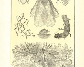 """Digital Download """"Aphis and Ant-Lion"""" Illustration (c.1900s) - Instant Download of Aphids and Ant-Lions, Illustrated Insects"""