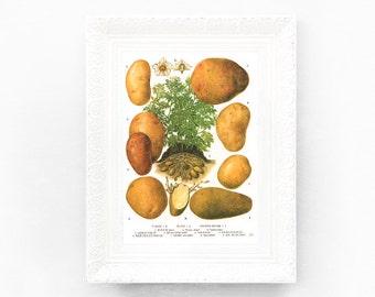 6x9 Potato Vintage Botanical Print. Edible Plants Encyclopedia Illustration. Varieties Food Herbs Educational Learning botED