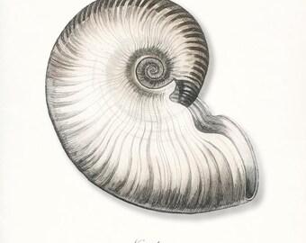 Coastal Decor Antique Nautilus Sea Shell Giclee Art Print