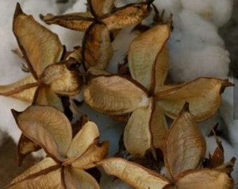 Empty cotton burrs for craft or rustic decor