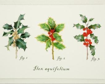 holly variety botanical folded card set winter holiday gift Christmas