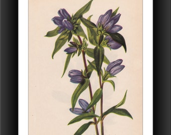 Bottle Gentian 2-Downloadable Vintage  Art Print -Victorian Flower Print