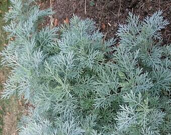 Wormwood, Absinthe  -  Artemisia absinthium -- Medicinal Herb