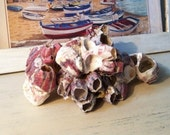 Beach Found Pink Barnacles from Florida (lot 324)