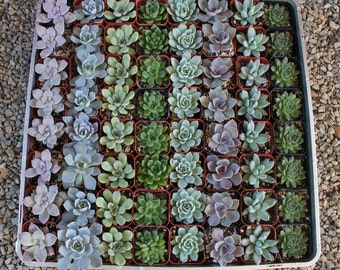 "5 ROSETTE Only Wedding Succulent collection potted in 2"" containers collection of Beautiful WEDDING FAVOR Succulents Gifts~"
