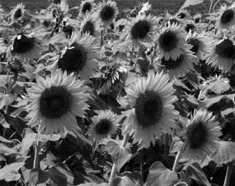 Sunflower Blooms,Black and White Photography, Fine Art Photography, Nature Photography, Sunflowers