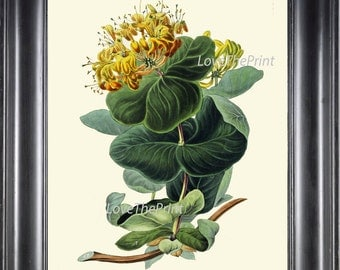 BOTANICAL Flower PRINT Clarke  Art Print 47 Beautiful Yellow Honeysuckle Wildflower Spring Summer Garden Plant