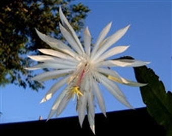 Beautiful & Exotic Strictum Epiphyllum Starter Plants!